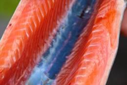 Flott fisk, Bildet er fra Ørretdagene på Stavali Turisthytte 2014 - Foto: Terje Engø