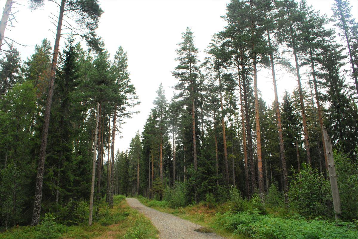 Turen går gjennom flott skog med høyreiste furuer, bringebærkjerr og blåbærlyng.