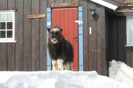 Moskus på Grimsdalshytta - Foto: Ukjent