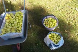 Det er flere frukttrær på eiendommen som brukerne kan høste av. Vi har gode moreller og epler her. - Foto: Frank-Werner Unsgaard
