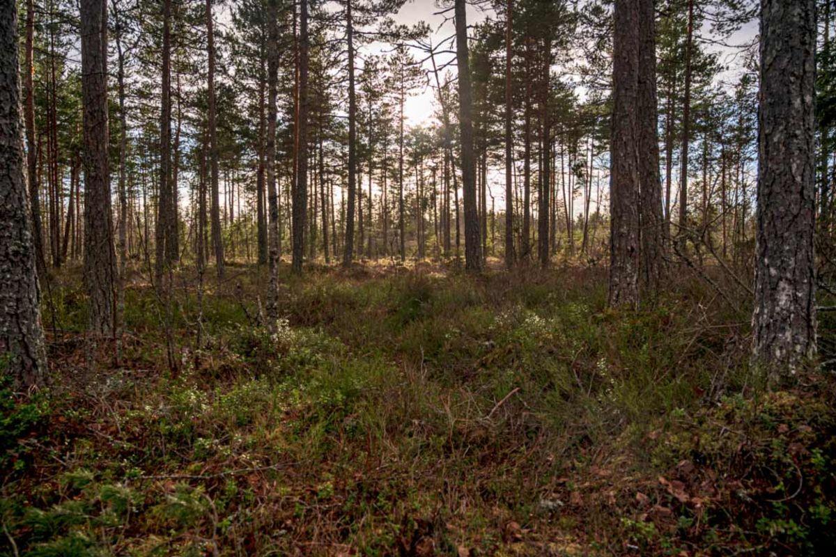 Skog ved lysløypa
