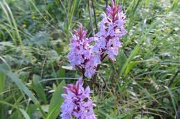 orkideen Myrflangre i Bremsåsen naturreservat - Foto: Anne Gallefos Wollertsen