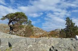 Den stora furua på kanten bak støylane - Foto: Arnfrid Bergheim