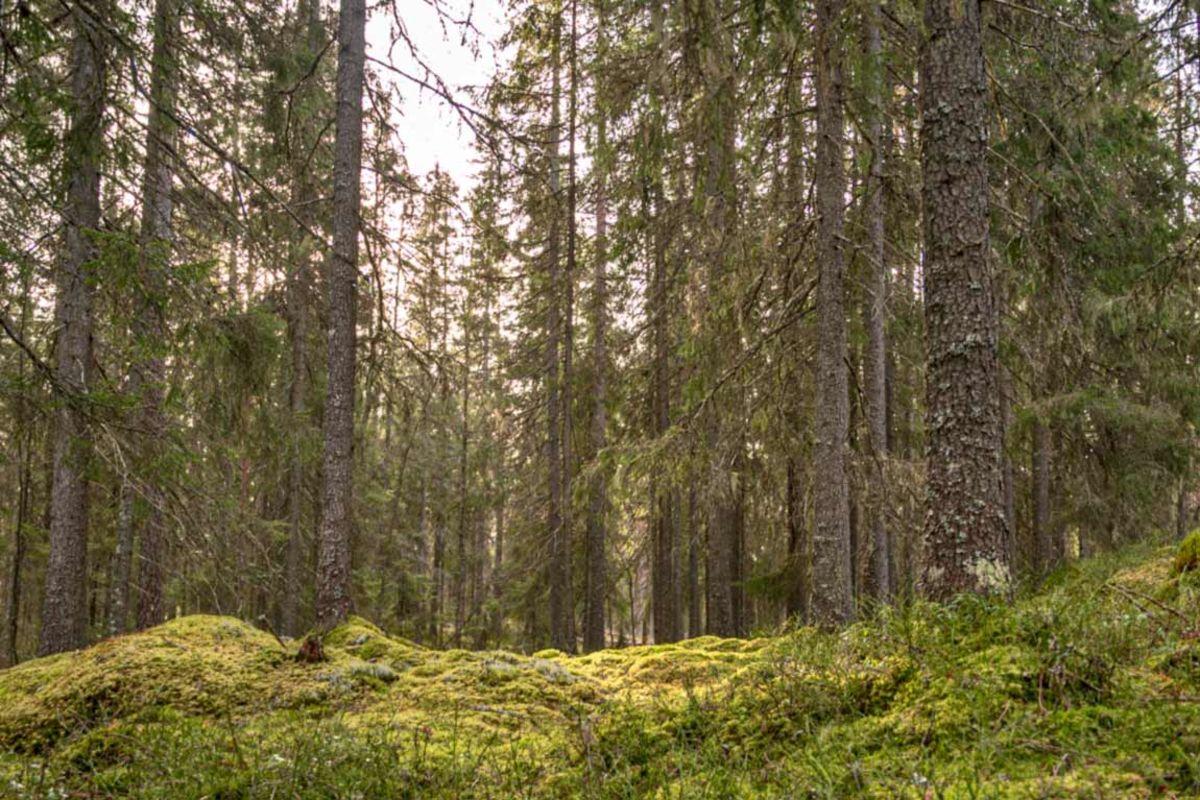 Fin mose i skogen