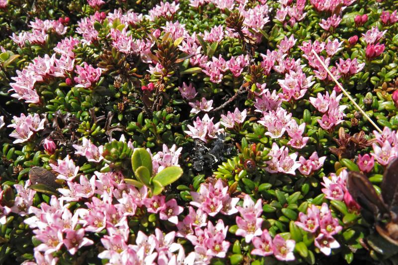 Rik blomstring av Greplyng på Krintofjellet i mai