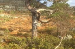 Den store furua ser du frå Eikefjordstøylane. Her tar du opp mot varden  - Foto: Astrid B Eliassen