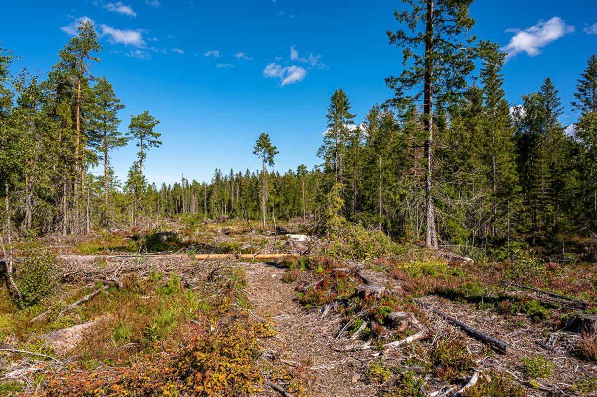 Uttynnet skog på Setermyra