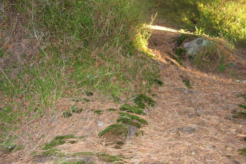 Stien går forbi blåbærlyng