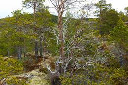 Tørrfuruer som luktger godt av terpentin - Foto: Kjell Fredriksen