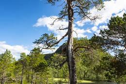 Flott furuskog - Foto: Kjell Fredriksen
