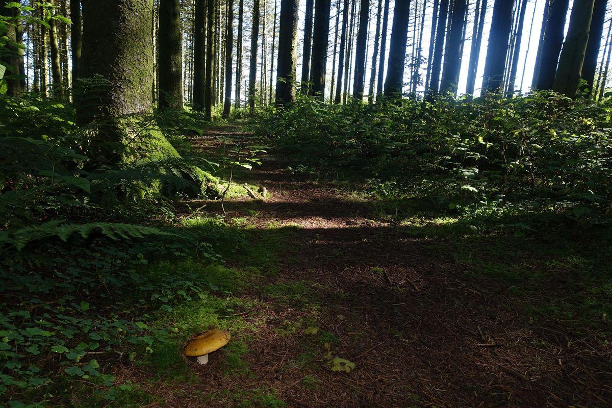 Høststemning i granskogen