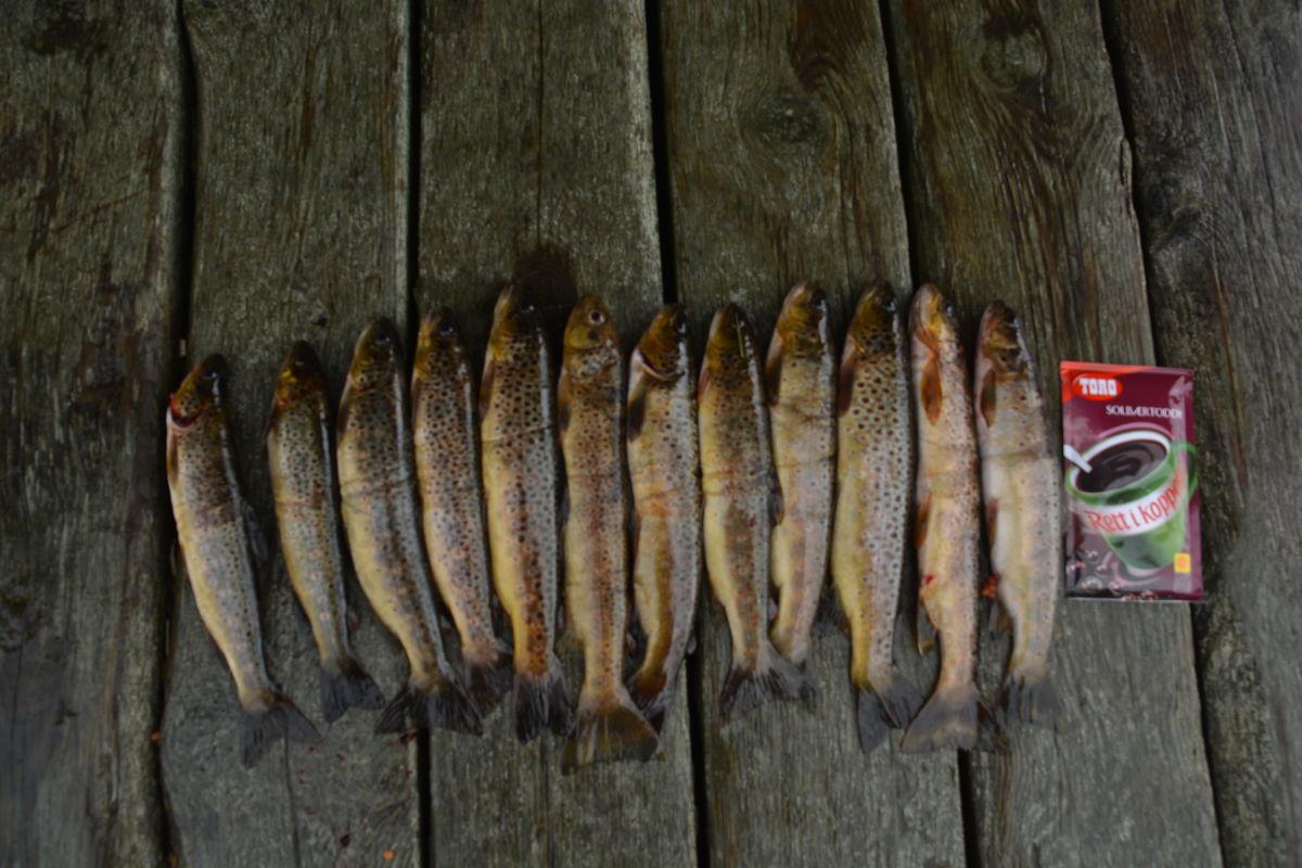 Fisk frå Torvedalstjørni