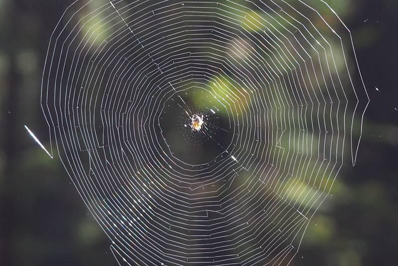 Liten edderkopp på matjakt