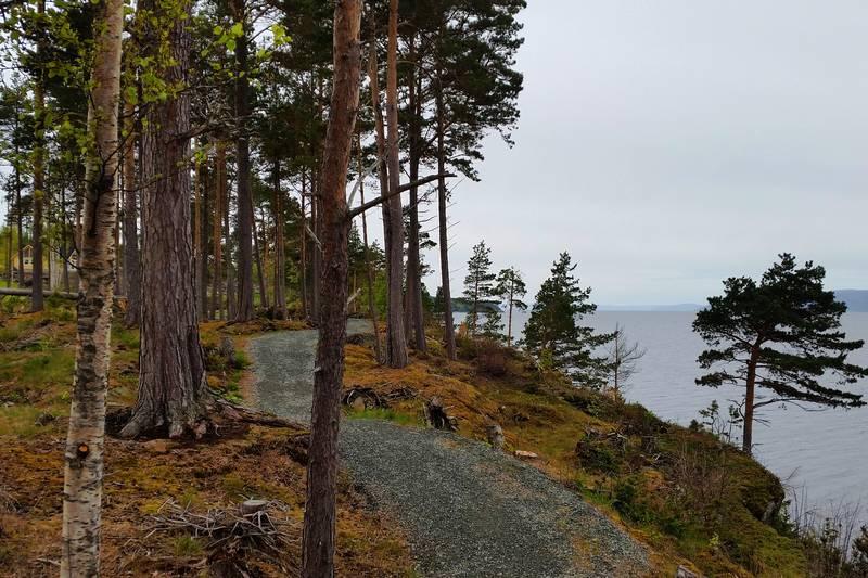 Furuskogen rammer inn stien.