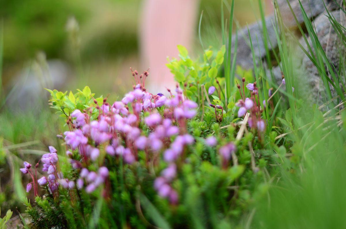 En rik flora rundt hytta