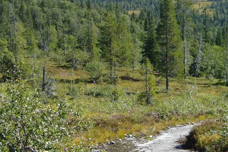 Stien på vei til Langvasshytta