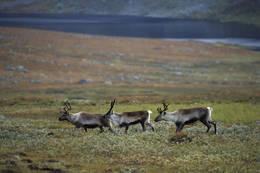 Er man heldig, får man oppleve reinsdyr når man er på tur på Hardangervidda. - Foto: Helge Sunde