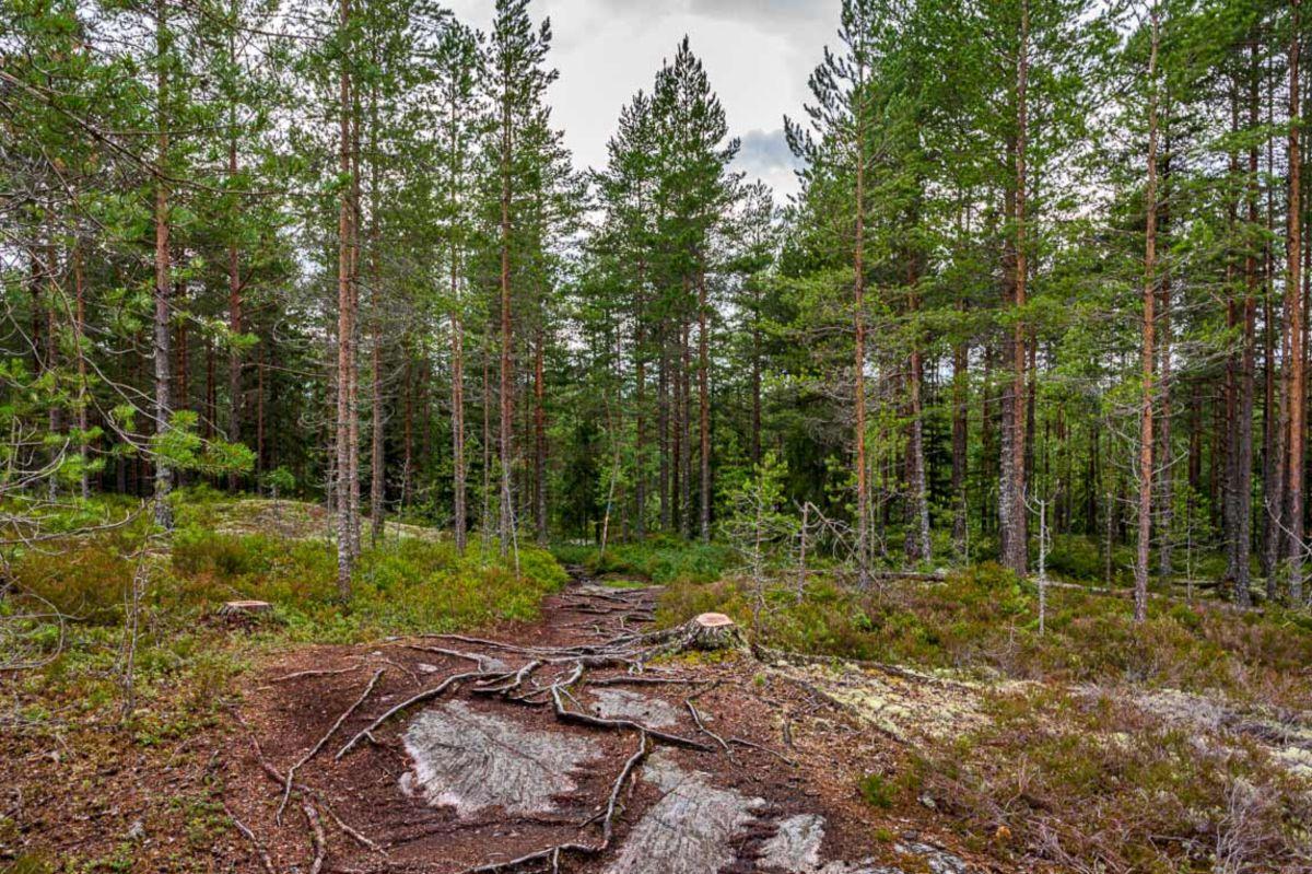 Stien over Rustadåsen går inn i skogen fra hogstfeltet
