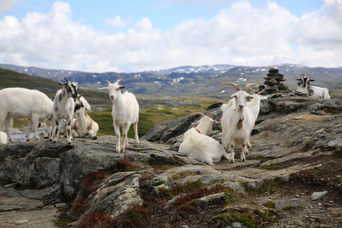 Er du heldig får du hilse på disse geitene.