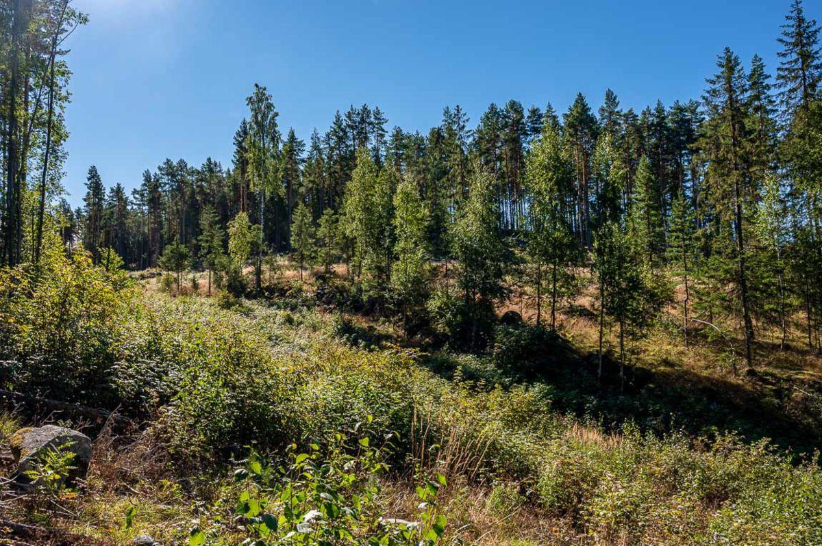Skogen i Merrabråtabakka har blitt tynnet ut
