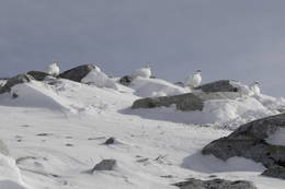 Ryper i vinterdrakt - Foto: DNT Oslo og Omegn