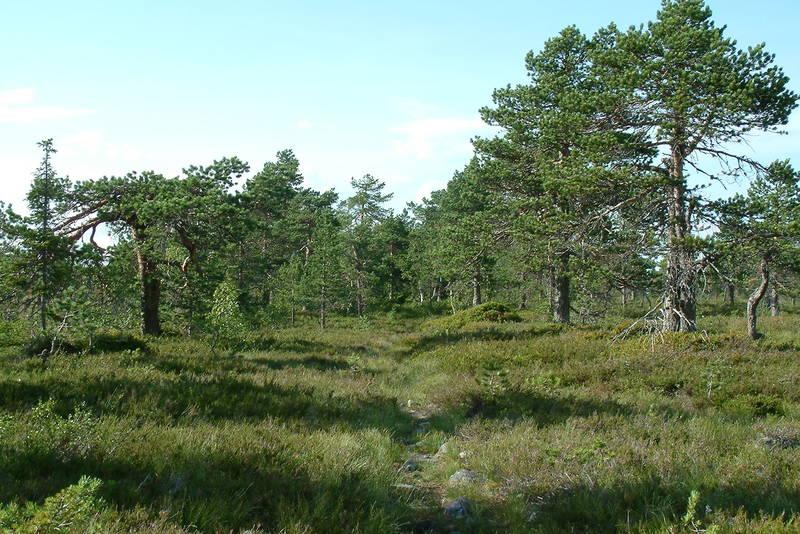 Frodig langs Rondanestien over Savalsæterhøgda