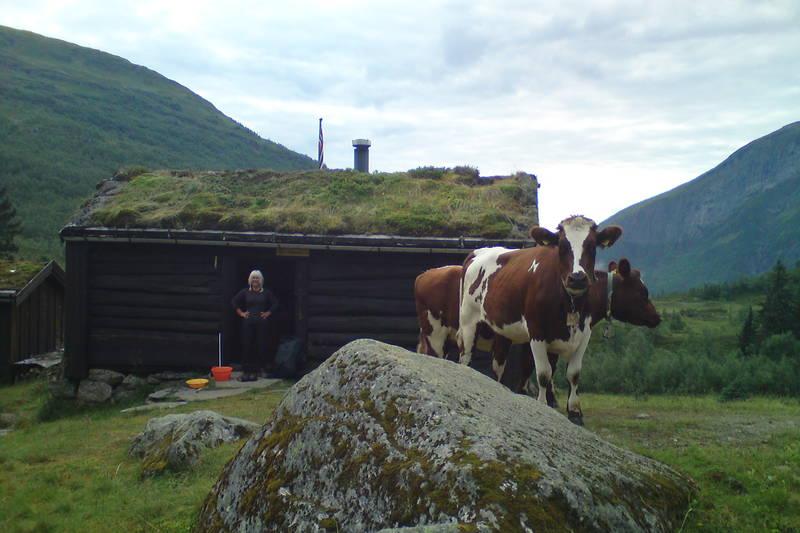 Morgenfrikse kalver på Vigdalsstøl