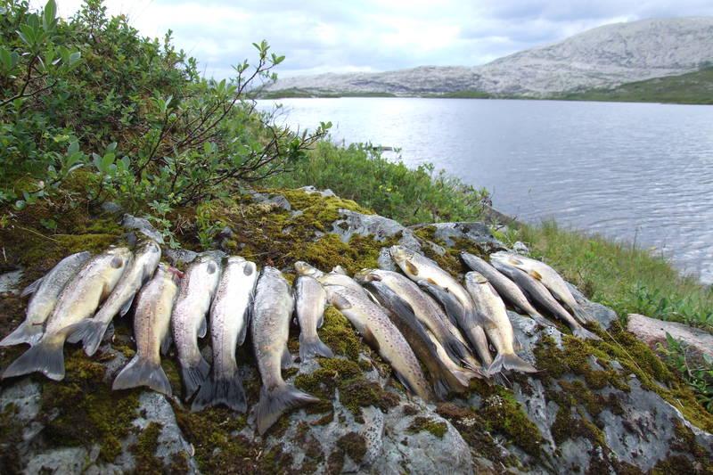 Ørretfiske ved Vending