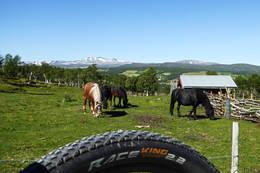 Hester i Leverdalen -  Foto: Jonny Remmereit