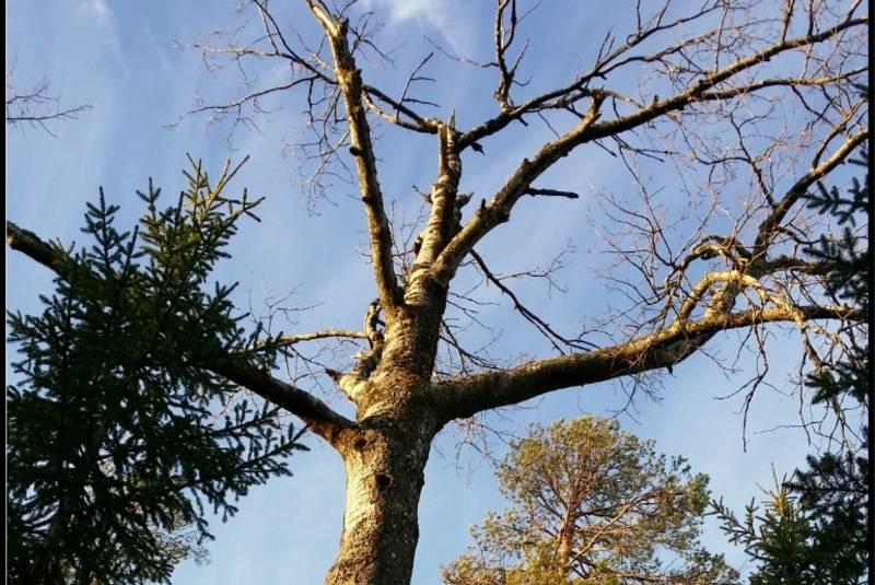 Et av trærne man ser under veis på turen