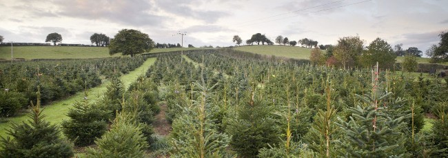 Dinmore Hill Christmas Trees