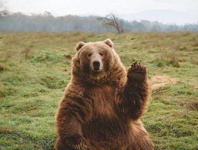 Vinkande björn
