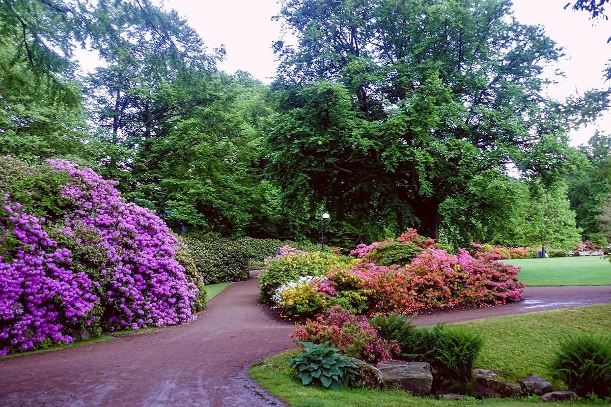 Rhododendron blommar på Sofiero