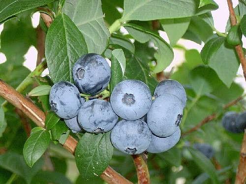 Голубика сорт Covill