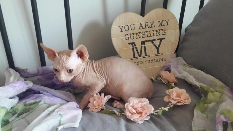 Sphynx kittens, registered Pedigree**stunning** for sale in