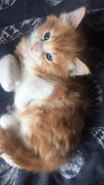Beautiful Long Haired Kittens For Sale In Aylesford Kitten Ads