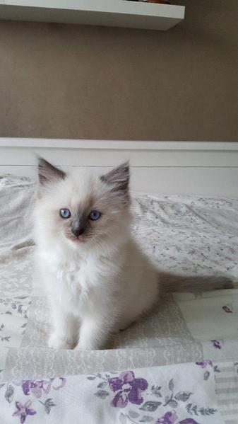 Lovely Ragdoll kittens for sale in Hull | Kitten Ads