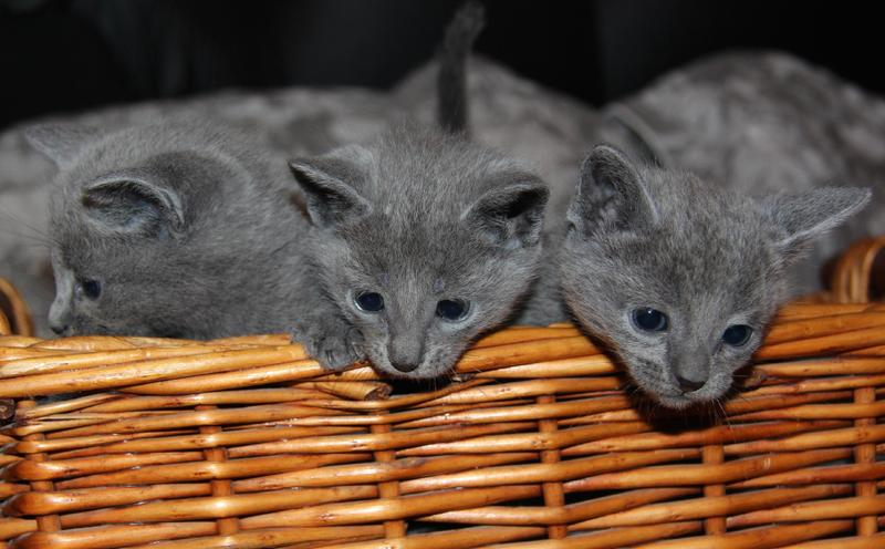 Blue Kittens For Sale : Gccf russian blue kittens for sale in manchester kitten ads