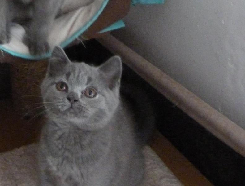 Blue Kittens For Sale : British shorthair blue kittens for sale in stoke on trent kitten ads