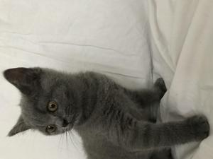 Blue Kittens For Sale : British shorthair kittens for sale in cambridgeshire kitten ads