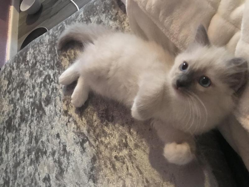 3de8a91b19540c ragdoll-kittens-for-sale-only-2-left-145854-1 800X600.jpg 2363ae10f0da2e44