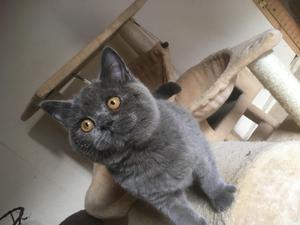 Blue Kittens For Sale : British shorthair kittens for sale kitten ads