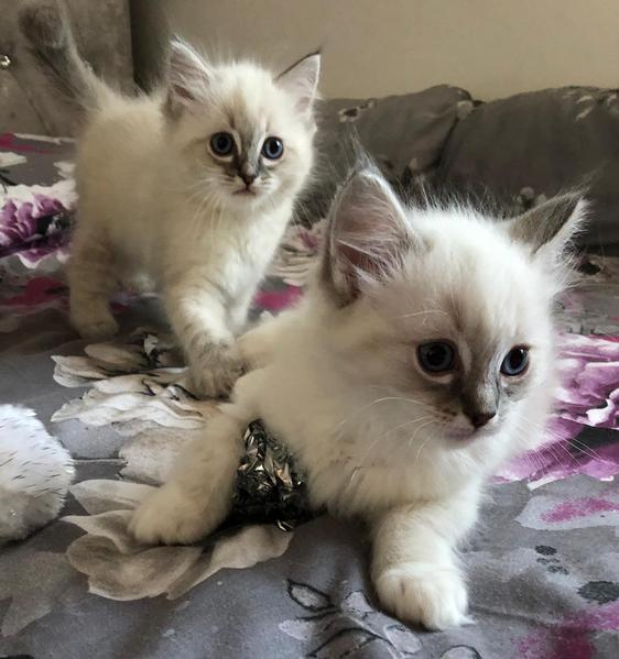 Stunning purebred blue tabby Ragdoll kittens available from
