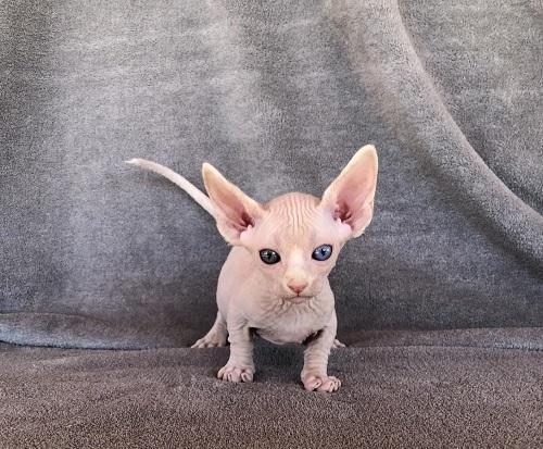 Bambino Male Odd Eye Sphynx Kittens for sale in London