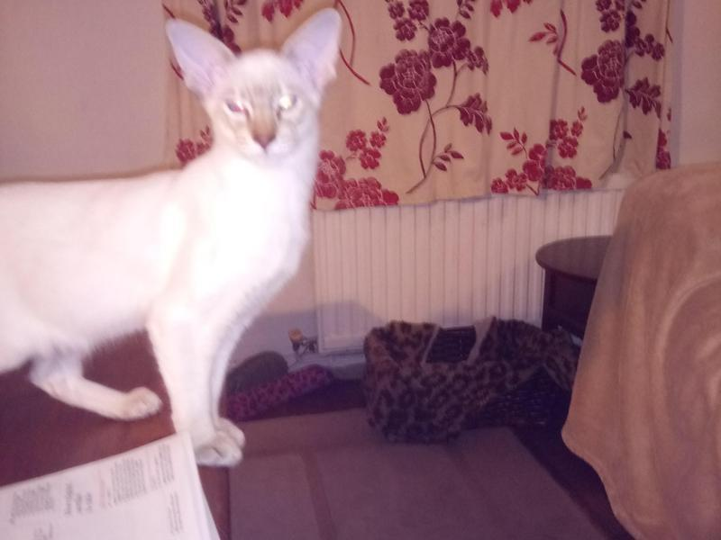 Gorgeous Balinese Male Kitten For Sale For Sale In Newport