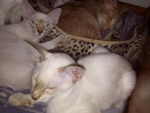 Balinese Kittens For Sale Kitten Ads