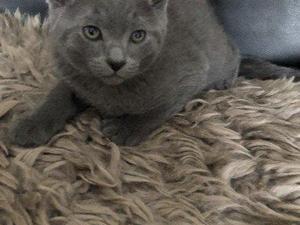 Blue Kittens For Sale : Russian blue kittens for sale kitten ads
