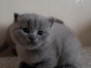 Blue Kittens For Sale : British shorthair kittens for sale in greater london kitten ads