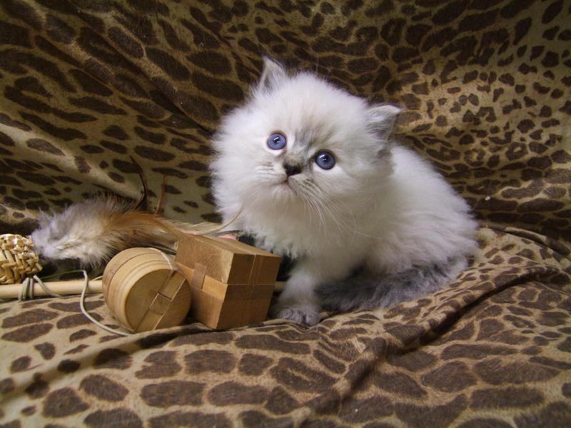 Gorgeous Blue point & Flame Point Ragdoll Kittens for sale for sale