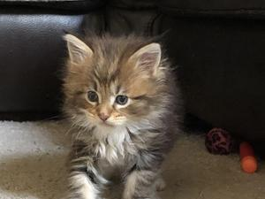 Silver Maine Coon For Sale